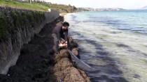YUNUSLAR - Karadeniz'deki Yunus Ölümleri
