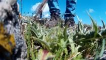 Baharla Gelen Lezzet Açıklaması 'Kenger'