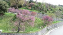ERGUVAN - İstanbul'da Baharın Müjdecisi Erguvanlar Havadan Görüntülendi