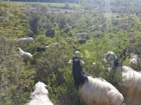 'Kurnaz' Çoban Keçileri Zurna İle Otlatıyor