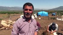 ALI DEVECI - Doğu Akdeniz'de Koyun Kırkım Zamanı