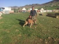 DAĞ KEÇİSİ - Köpeklerin Saldırısına Uğrayan Dağ Keçisini Köylüler Kurtardı