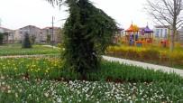 Belediye Tarafından Dikilen Laleler Çiçek Açtı
