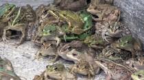 KURBAĞA - Girişimciler İçin Kurbağa Yetiştiriyorlar