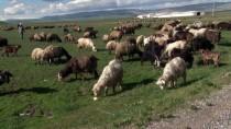 Muş'ta Besicilerin 'Çoban' Sıkıntısı
