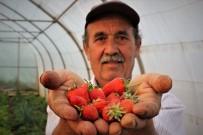 Bursa'da çilek hasadına başlandı