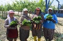 TARIM İŞÇİSİ - Asma Yaprağı Kadınların Geçim Kapısı Oldu