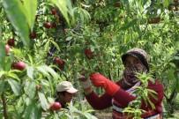 KENAN YıLDıRıM - Şeftalide Hasat Başladı, Çiftçi Fiyatlardan Yakındı