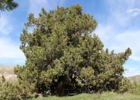 Dilek Ağacı - 9 Asırlık Ardıç Ağacı Zamana Meydan Okuyor