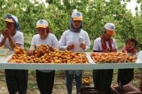 Mersin'in Mut İlçesi 70 Bin Ton Kayısı İhracatı Hedefliyor
