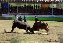 BOĞA GÜREŞİ - Artvin'de 'Derekapı Boğa Güreşleri' Kıyasıya Mücadelelere Sahne Oldu