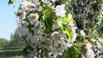 Kiraz Bahçeleri Beyaz 'Gelinliğini' Giydi