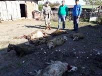 SOKAK KÖPEKLERİ - Sahipsiz köpekler 7 koyunu telef etti!