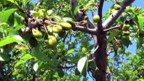 ÖMER KıLıÇ - Zirai Don Yozgat'ta Meyve Ve Sebzelere Zarar Verdi