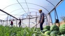 MUSTAFA DEMIR - İlk Karpuz Hasadı Antalya'da Başladı