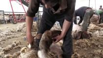 MEHMET ÇIÇEK - Elit Koyunlara 'Yaz Banyosu'