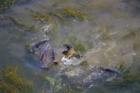AHMET ÖZKAN - Çırpınan Balıklar Önce Panikletti Sonra Sevindirdi