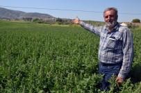 HALITPAŞA - Çiftçinin Yeni Gözdesi Açıklaması Kinoa