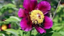 İMAM HÜSEYIN - Çubuk'ta Şakayık Çiçekleri Açtı