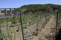 BEYKOZ BELEDİYESİ - İSMEK'ten Meyve Bahçesi'ne 65 Yıllık Domates Fidesi