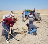 CEVİZ AĞACI - Tuşba Belediyesinden 'Model Ceviz Bahçesi' Projesi