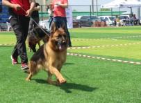 ÇOBAN KÖPEĞİ - Kocaeli'de Alman Çoban Köpekleri Güzellikleriyle Yarıştı