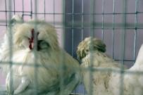 AÇIK ARTTIRMA - Araba Değerindeki Tavuklar, Meraklılarıyla Buluştu