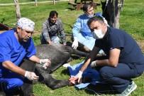 SAKLıKENT - Ayaklarına Tel Dolanan Yaralı At Operasyonla İyileştirildi