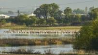 PELIKAN - Ak Pelikanların En Önemli Dinlenme Alanlarından Biri Keşfedildi