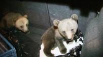 Köpeklerin Saldırısından Kurtarılan Yavru Ayılar İlgi Odağı Oldu