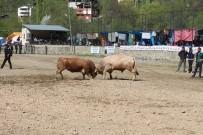 Artvin'de Boğalar Sezonun İlk Yarışı İçin Arenaya Çıktı