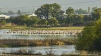 PELIKAN - Ak Pelikanlar Burada Dinleniyor