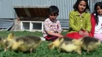 NESIM - Kışın Vazgeçilmez Lezzeti Kazların İlk Yavruları Merada