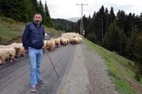 Koyun Sürüleri Yayla Yollarında Uzun Kuyruklar Oluşturuyor