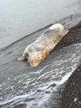 Sahile İnek Ölüsü Vurdu