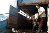 TARıM İŞLETMELERI GENEL MÜDÜRLÜĞÜ - Demirci'de Genç Çiftçilere Büyükbaş Hayvan Desteği