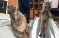 KAFKAS ÜNİVERSİTESİ - Yaralı Yavru Kurt Ve Tavşan Tedavi Altına Alındı