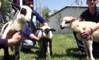AHMET HAŞIM BALTACı - Arnavutköy'de En Güzel Kuzular  Podyuma Çıktı