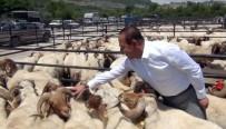 Kozan'da Küçükbaş Hayvan Yetiştiricilerine Damızlık Koç Dağıtıldı