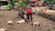 Başıboş Köpekler Ağıldaki 5 Koyunu Telef Etti