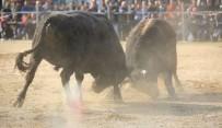 BOĞA GÜREŞİ - Milas Boğa Güreşi Festivalini Bekliyor