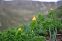 ADONIS - 'Yok Oldu' Denilen Bitki 150 Yıl Sonra Yeniden Açtı