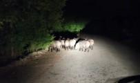 Aracıyla İlerlerken Biranda Onlarca Domuz Karşısına Çıktı