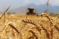 HASAN YıLDıZ - Türkiye'nin İlk Buğday Hasatı Antalya'da Başladı