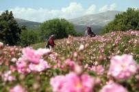 HASSASIYET - Isparta'daki Gül Hasadı Festivalle Taçlandırılacak
