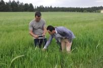 HITITLER - 10 Bin Yılık Siyez Buğdayı Baş Vermeye Başladı