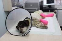 AMELIYAT - ( Özel) İşkence Edilerek Bacakları Kesilen 'Sızı' Köpek Yaşama Tutundu