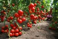 ABHAZYA - Abhazya Rusya'ya Sebze İhracatında Rekor Kırdı