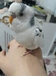MUHABBET KUŞU - Kaybolan Kuşunu Bulanı Ödüllendirecek