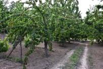 HASTALıK - Kiraz Yarışması'na Başvuran Üreticilerin Bahçeleri İncelenmeye Başladı